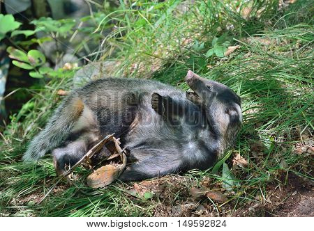 A close up of the badger in trap of poacher.