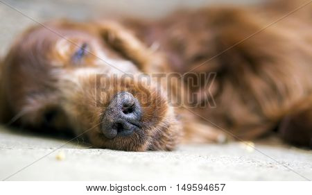 Nose of a beautiful old sleeping Irish Setter dog