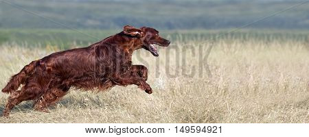Website banner of a speedy running Irish Setter dog