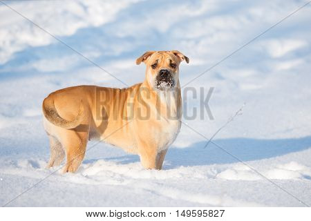 red ca de bou dog outdoors in winter