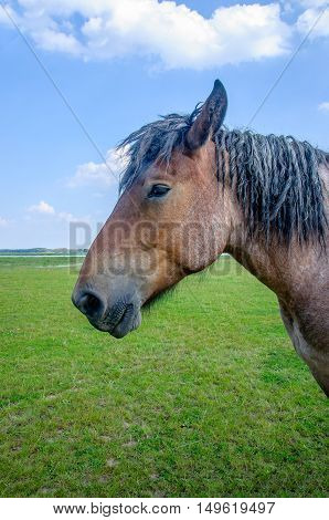 Closeup of a powerful Belgian horse with black manes standing in Dutch grassland near a river in a sunny day in the summer season.