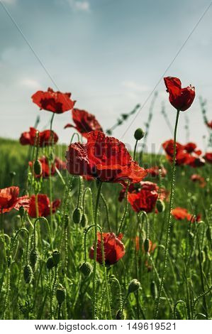 Red poppies in the field. Selective focus