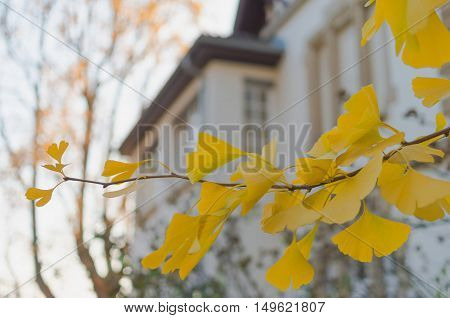 Ginkgo biloba branch with yellow foliage in front of an old building