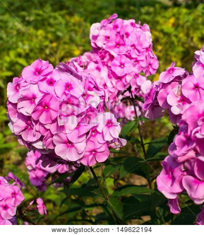 Pink garden phloxes (Phlox paniculata). Close up.