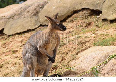 cute brown wallaby kangaroo standing animal outdoors