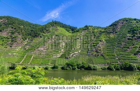 Vineyards with Mosel in summer panorama landscape