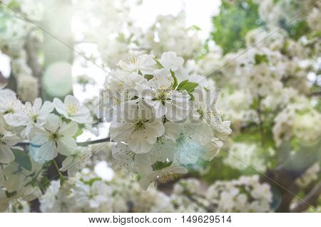 Cherry tree flowers with bokeh lights. Spring flowers.