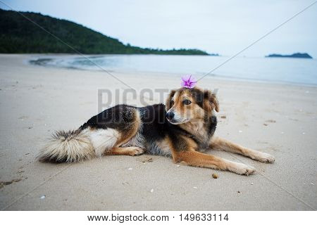 Ipomoea pes-caprae flower placed on the dog's head lying on the beach.