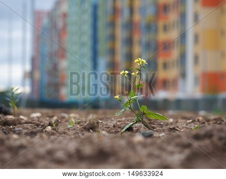 Small weak flower among wasteland and dirt on the background of the beautiful buildings of the city. The concept of urban ecology environment