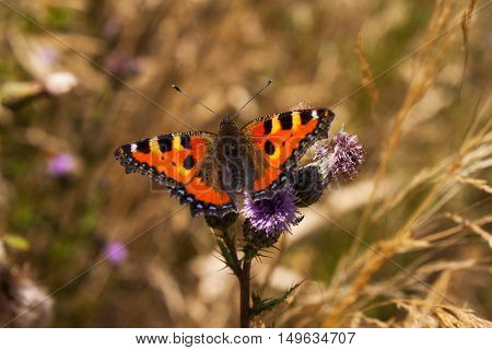 Portrait of small tortoiseshell butterfly on the flower. Photography of wildlife.