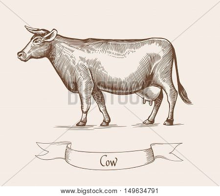 Cow Vector illustration. Illustration of the cattle in Vintage engraving style. Cow grunge label. Sticker image depicting beef. Grunge label for milk product. Eps10 illustration.