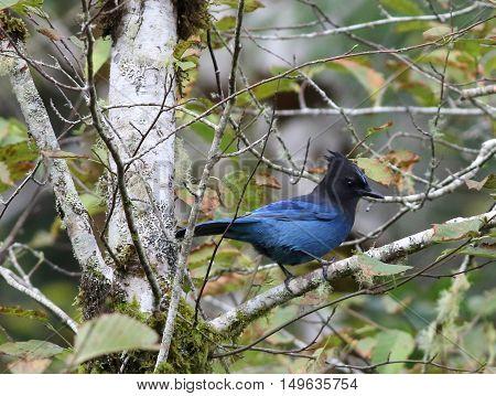 A bright blue Steller's Jay on a branch