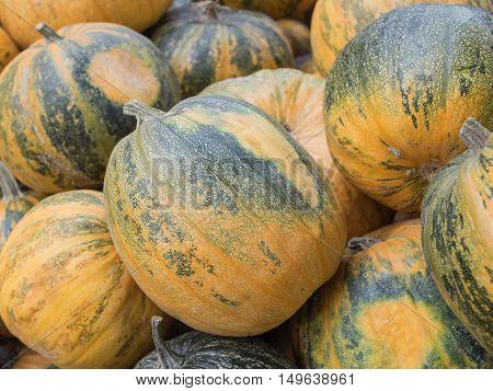 Harvest: Heap of Styrian oil pumpkin Cucurbita pepo styriaca