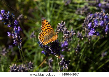 Portrait of silver-washed fritillary butterfly on the flower.