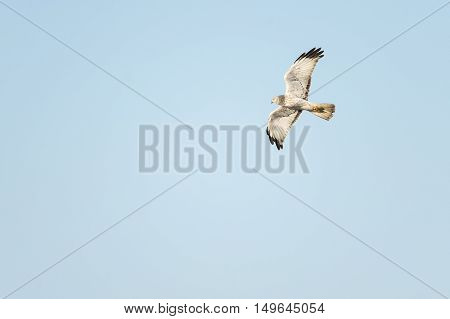 Gray Ghost--nickname for male Northern Harrier--in flight