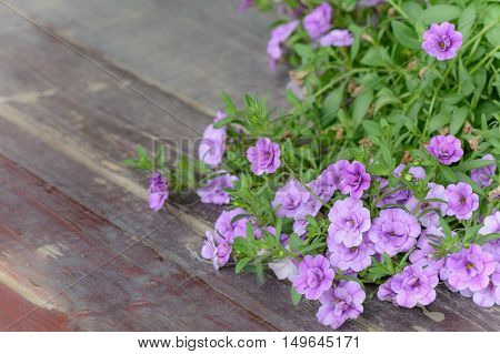 Violet Flower Petunia Wallpaper. Violet Petunia Flowers In The Garden On Wooden Floor In Summer. .