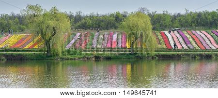 Image With Two Willows, Carpets Of Flowers And Lake. Weeping Willow With Long Branches Hanging Over