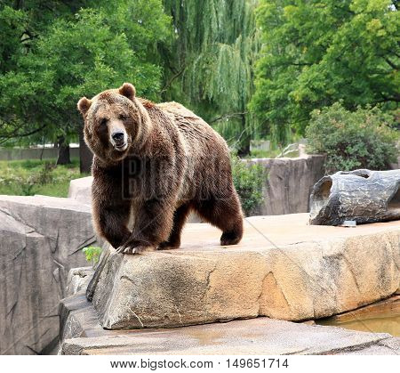 North American Brown bear posing on rocky ledge