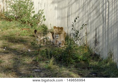 Portrait of single lion relax to go out in alcove, Sofia, Bulgaria