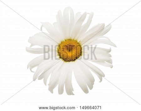 single elegance daisy on a white background