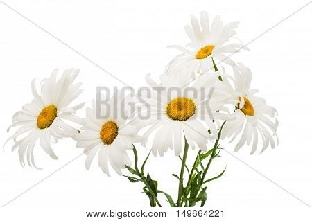 daisy elegance, floral on a white background