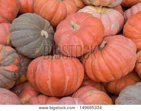 Harvest: Heap of Garbo Squash Cucurbita maxima