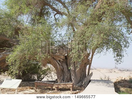 Ziziphus Spina-Christi 300 years old tree in Biblical Tamar park, South Israel