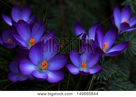 Lilac crocus flowers in the woodland. Photography of nature.
