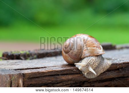 Cute burgundy snail Helix, Roman snail, edible snail crawling on wood crate after rain, closeup.