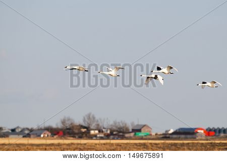 Tundra Swans in Flight over a prairie wetland Alberta Canada