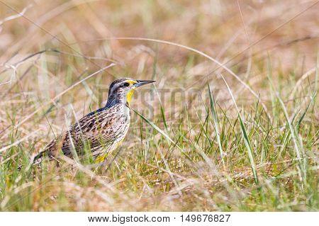 Western Meadowlark in a prairie grassland in summer
