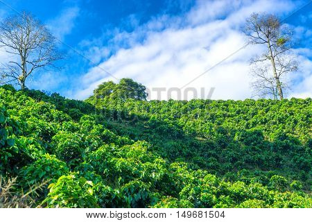Coffee plants growing on a hill outside of Manizales Colombia