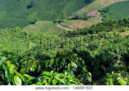 View of green coffee plants growing near Manizales Colombia
