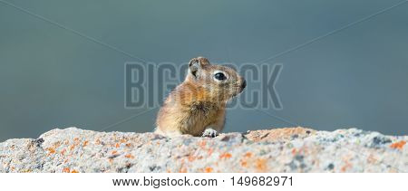 Least Chipmunk climbing among rocks Jasper National Park