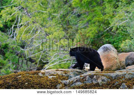 Coastal Black Bears