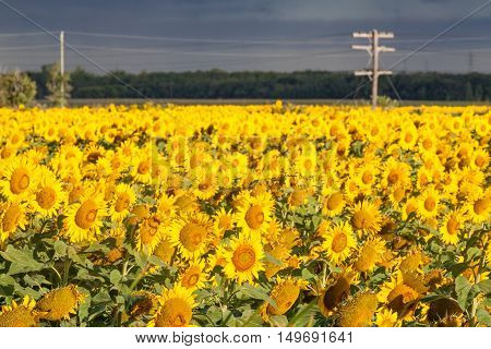 Field of Bright Yellow Sunflowers With Power Line