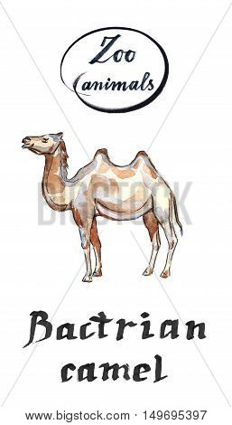Bactrian camel hand drawn - watercolor Illustration