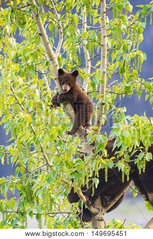 Black Bear Family In A Tree