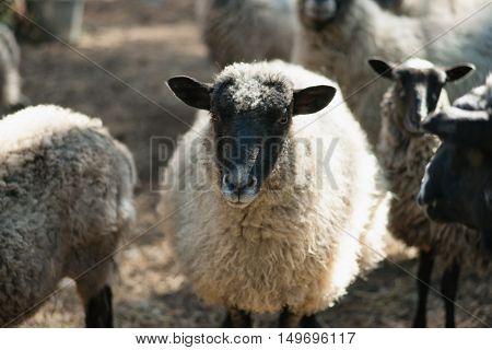 Sheep. Sheep in nature. Sheep on meadow. Sheep farming.