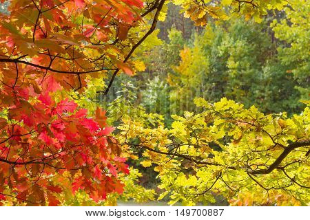 Branches of autumn red oak with red leaves and white oak with yellow leaves against the background of other trees in the forest