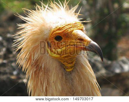 Head of egyptian vulture close-up portrait Soqotra Yemen