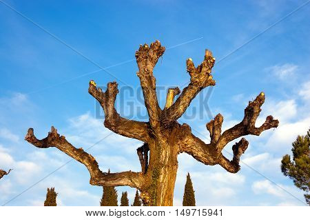 Detail of the upper part of a pruned tree on blue sky with clouds at sunset