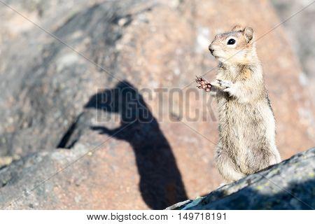 Golden-mantled Ground Squirrel Jasper National Park Canada