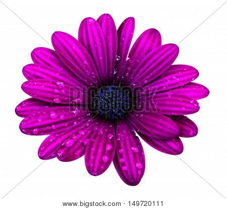 Purple osteospermum daisy flower isolated over white background.
