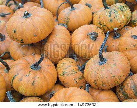 Harvest: Heap of Mandarin Squash Cucurbita maxima