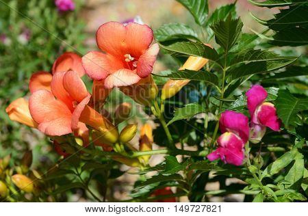 Campsis - trumpet vine - and antirrhinum - snapdragon - flowers among lush green foliage. poster