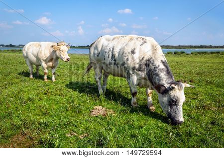 Grey spotted heifer in the foreground and a creamy white one in the background together grazing in the fresh green grass of the floodplains next to a Dutch river on a sunny day in the summer season.