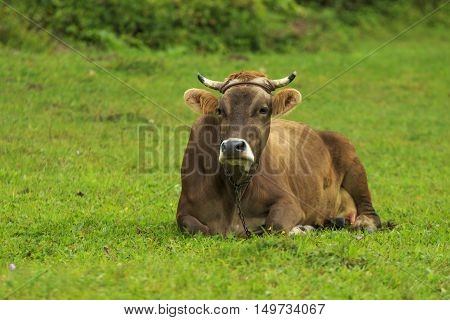 Well-fed cow lies relaxing on a green meadow
