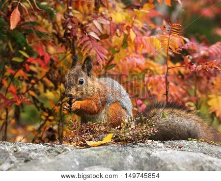 Cute red squirrel in autumn color forest environment
