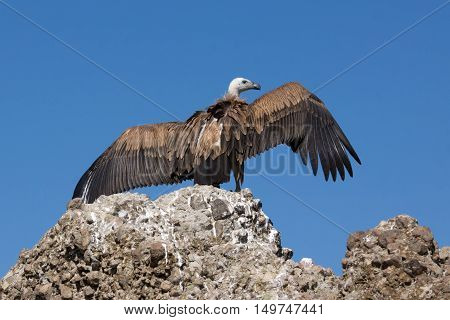 Griffon vulture over rock with outspread wings